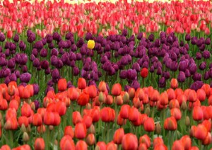 Tulips-Stand-Out1